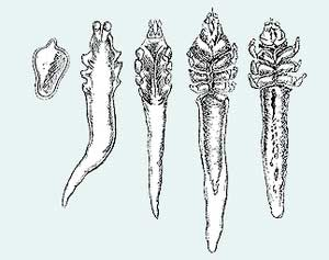 Клещ Demodex folliculorum.